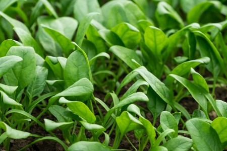 Baby spinach; grow a winter crop in the hot summers of Italy. We asked our grower how?
